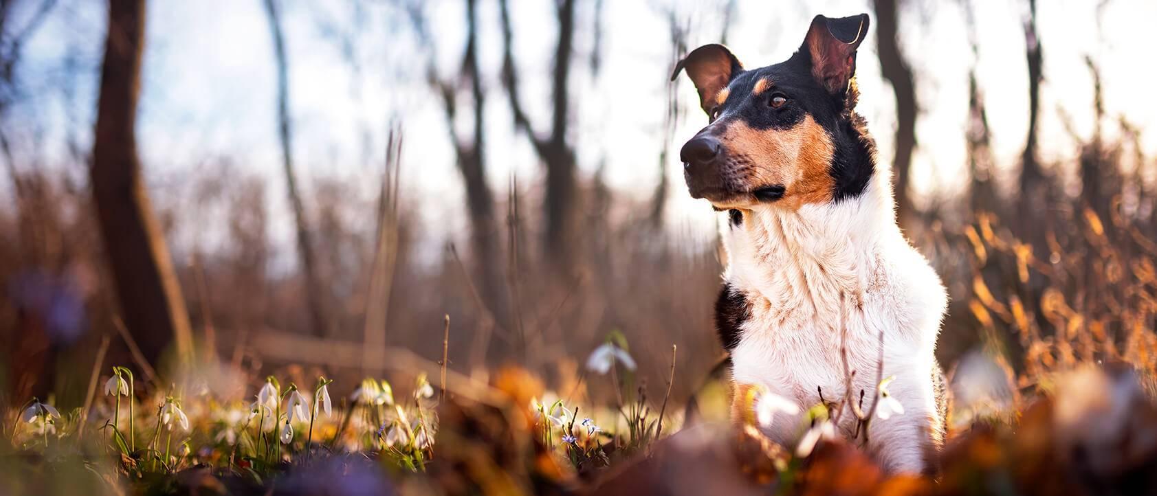 Krátkosrstá kólia Pixie, ležiaca na tráve